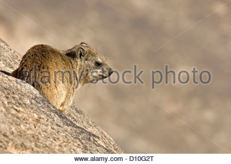 Rock hyrax / Cape hyrax (Procavia capensis) young on the lookout from rock in the Augrabies Falls National Park, - Stock Photo
