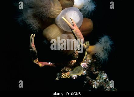 Cryptic Kelp Crab (Pugettia richii) and Plumose Anemones (Metridium giganteum). Vancouver Island, British Columbia, - Stock Photo