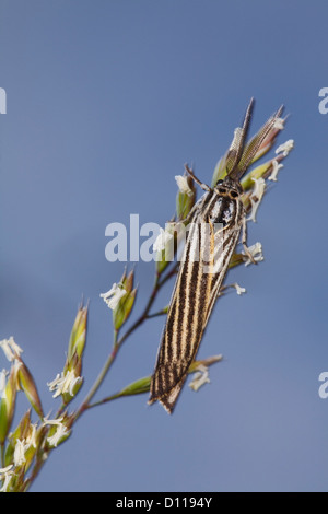 Male Feathered Footman moth (Spiris striata). Causse de Gramat, Lot region, France. June. - Stock Photo