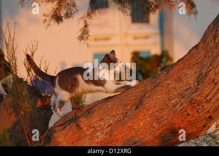 Hauskatze, Blau mit Weiss, kratzt im Abendlicht an einen alten Tamarisken-Baumstamm, Kykladen, Griechenland, cat, - Stock Photo