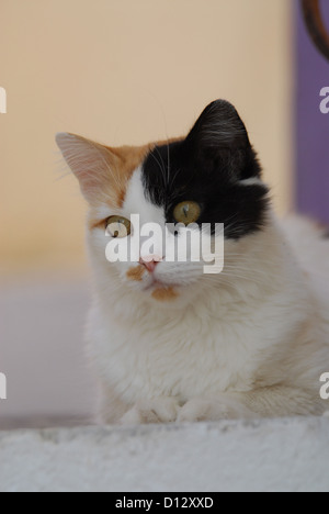 Hauskatze, Schildpatt mit Weiss, Portraet, Kykladen, Griechenland, cat, Tortie and White, portrait, Cyclades, Greece, - Stock Photo