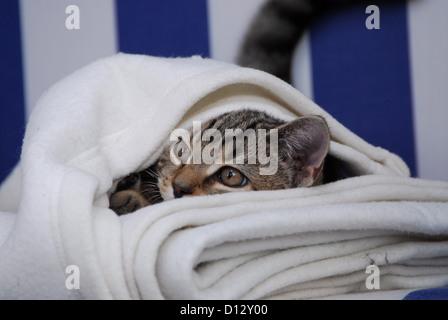 junges Kätzchen, Britisch Kurzhaar, Tabby, schaut unter einer Wolldecke hervor, kitten, British Shorthair, Mackerel - Stock Photo