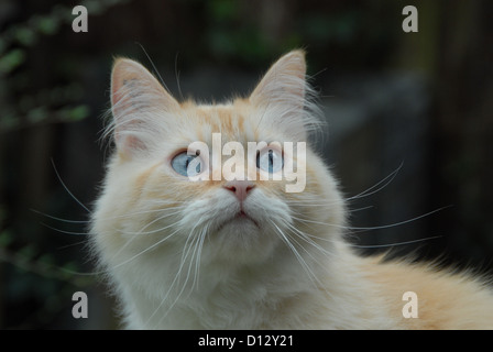 Hauskatze, Creme-Tabby-Point mit blauen Augen, Portraet, cat, Cream-Tabby-Point Blue-eyed, portrait, felis silvestris - Stock Photo