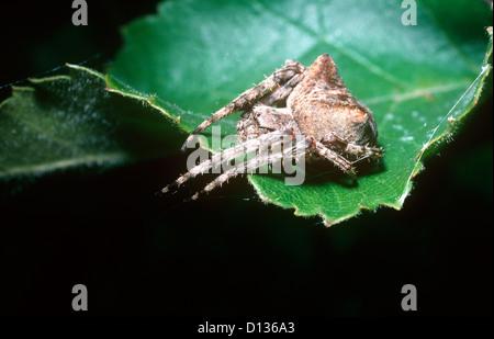 Angular orb weaver spider (Araneus angulatus: Araneidae) female holding on to the signal line leading to her web - Stock Photo