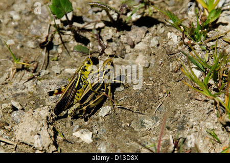 A pair of large green Grasshoppers - Stock Photo