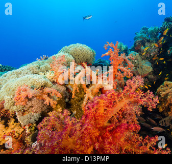 Vividly coloured soft corals and tropical fish swim around a coral reef in the Red Sea - Stock Photo