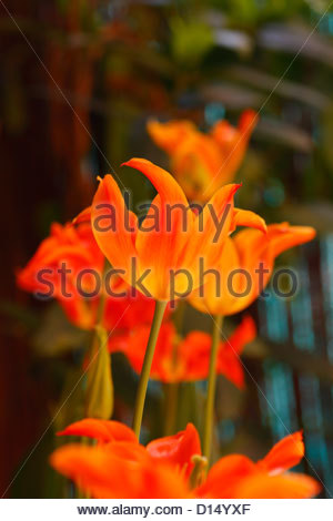Red and yellow tulips. Beautiful colors. - Stock Photo