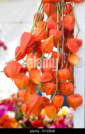 Dried orange Chinese Lantern flowers on display - Stock Photo