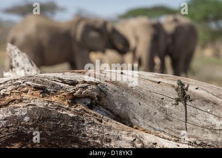 Kenyan rock agama, female (Agama lionotus), Amboseli ecosystem, Kenya, October 2012 - Stock Photo