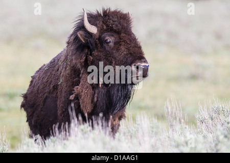 American Plains Bison, Bison bison, Bison, Yellowstone Nationalpark, USA, cow - Stock Photo