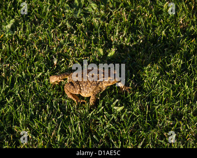 European common toad (bufo bufo ssp spinosus) on grass - Stock Photo