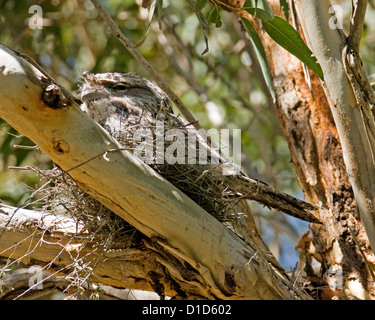 Australian bird, tawny frogmouth, Podargus strigoides, on nest camouflaged among high branches of a native gum tree - Stock Photo