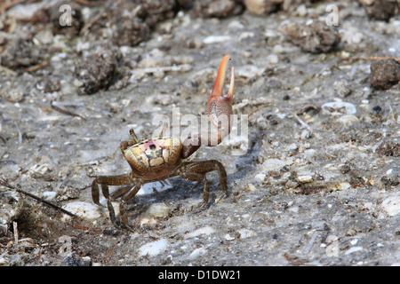 Sand Fiddler Crab (Uca pugilator), right-handed male on beach, Gulf of Mexico, Florida USA - Stock Photo