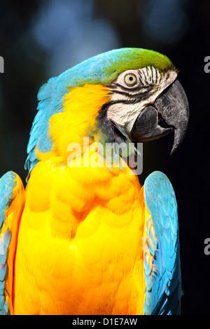 Blue and yellow macaw (blue and gold macaw) (Ara ararauna) in captivity, United Kingdom, Europe - Stock Photo