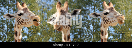 Species of giraffe has nine subspecies, in captivity, United Kingdom, Europe - Stock Photo