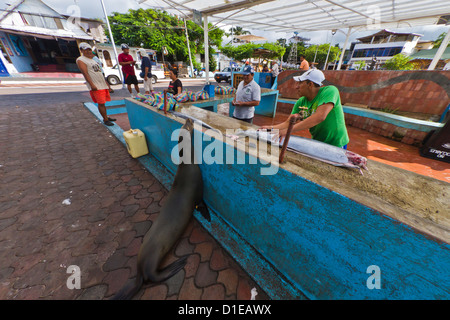 Local fish market, Puerto Ayora, Santa Cruz Island, Galapagos Island Archipelago, Ecuador, South America - Stock Photo