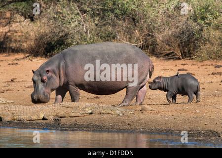 Hippopotamus (Hippopotamus amphibius) with calf, Kruger National Park, Mpumalanga, South Africa, Africa - Stock Photo