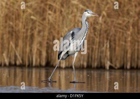Grey heron, Ardea cinerea, single bird on ice, Warwickshire, December 2012 - Stock Photo