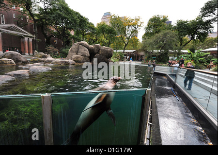 Seal at the Central Park Zoo pool  in Manhattan New York USA - Stock Photo