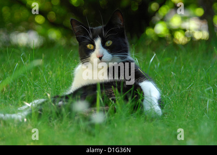 Hauskatze sitzt im Grass, cat is sitting in the grass, Felis silvestris forma catus, domesticus - Stock Photo