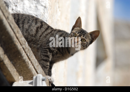 Tabby and White, peering down from a cornice, Greece, Dodecanese Island, Non-pedigree Shorthair, felis silvestris - Stock Photo