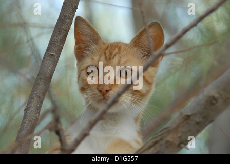 Red Tabby and White, peering down from a tree, portrait, Greece, Dodecanese Island, Non-pedigree Shorthair, felis - Stock Photo