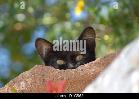 Black, peering down from a wall, portrait, Greece, Dodecanese Island, Non-pedigree Shorthair, felis silvestris forma - Stock Photo