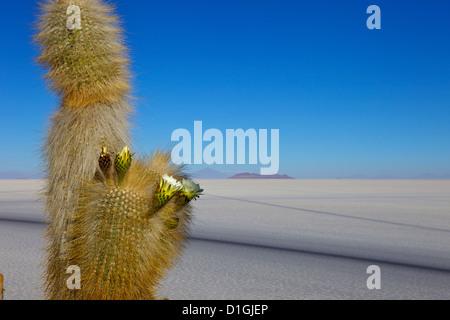 Cacti on Isla de los Pescadores and salt flats, Salar de Uyuni, Southwest Highlands, Bolivia, South America - Stock Photo