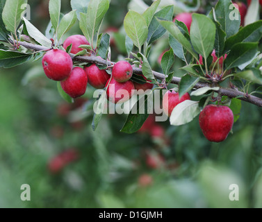 Close up of natural apples on apple trees in the spring - Stock Photo