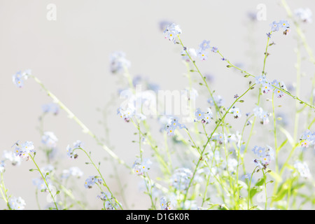 Light dreamy photo of forget me not's - Stock Photo