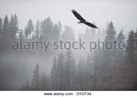 Bald eagle (Haliaeetus leucocephalus) flying over the trees, Coeur d'Alene Lake, Idaho, United States of America, - Stock Photo
