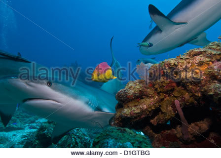 Caribbean reef shark (Carcharhinus perezii) and coral reef fish, Roatan, Bay Islands, Honduras, Caribbean, Central - Stock Photo