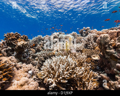 Hard corals and tropical fish on a coral reef - Stock Photo