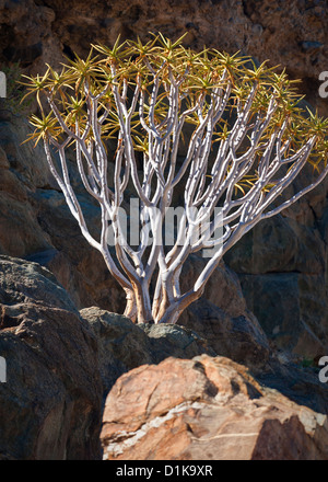 Aloe dichotoma, also known as Quiver tree or Kokerboom on rocky cliff flanking the Orange River in the Ai Ais Richtersveld - Stock Photo