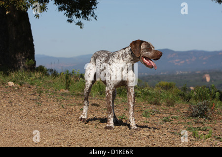 Dog Braque du Bourbonnais / Bourbonnais Pointing Dog  adult - Stock Photo