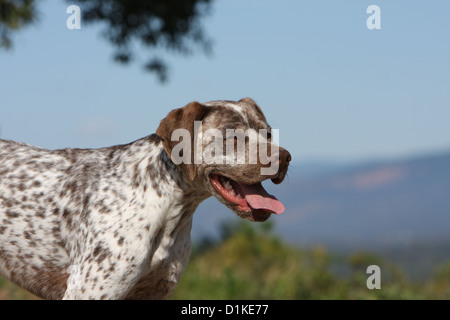 Dog Braque du Bourbonnais / Bourbonnais Pointing Dog  adult portrait - Stock Photo