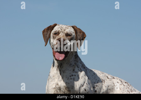 Dog Braque du Bourbonnais / Bourbonnais Pointing Dog  adult portrait - Stock Photo