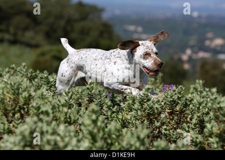 Dog Braque du Bourbonnais / Bourbonnais Pointing Dog  adult running - Stock Photo