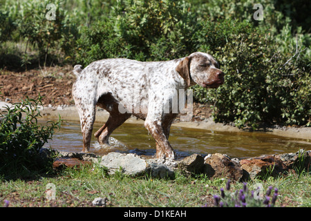 Dog Braque du Bourbonnais / Bourbonnais Pointing Dog  adult walking - Stock Photo