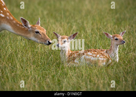 Fallow Deer Cervus dama doe with fawns - Stock Photo