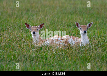 Fallow Deer Cervus dama Fawns in grass - Stock Photo
