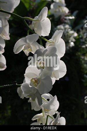 White Moth Orchid, Phalaenopsis Hybrid, Orchidaceae. - Stock Photo
