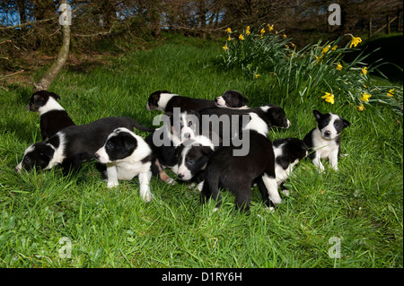 Sheepdog puppies playing out in grass. - Stock Photo