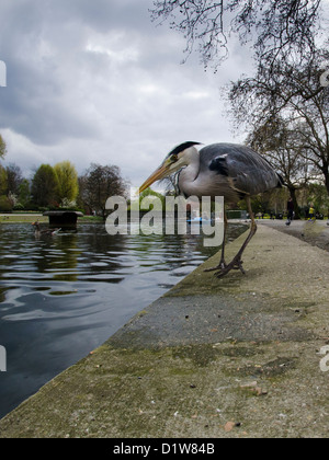 Grey heron looking for a meal at st james park - Stock Photo