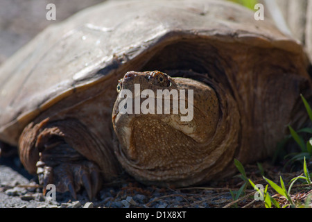Close-up of a Common Snapping Turtle (Chelydra serpentina) - Stock Photo