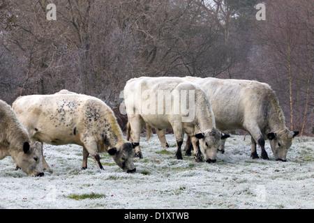English White bulls grazing in winter - Stock Photo
