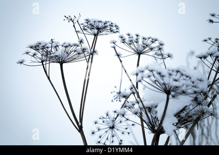 Frozen umbrella flowers covered with snow above blue background - Stock Photo