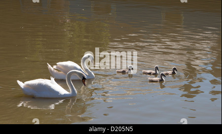 A pair of mute swans and four cygnets on the Kennet and Avon Canal in Wiltshire, England. - Stock Photo