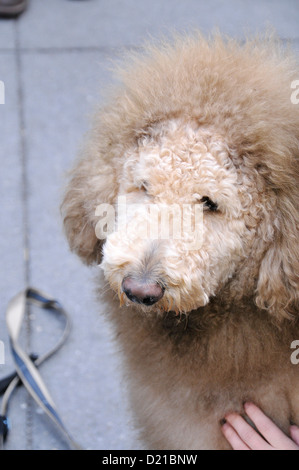 Owners of Charles the Lion Dog. EDITORIAL USE ONLY. NO COMMERCIAL USES. - Stock Photo