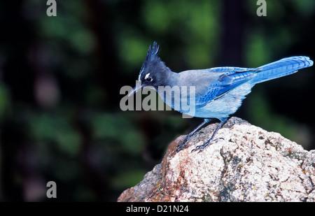 BLUE JAY [CYANOCITTA CRISTATA]   PERCHES ON A ROCK IN MONTANA USA - Stock Photo